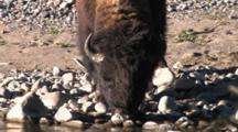 Bison Bull Drinking Out Of River, Lifts Head