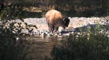 American Bison Bull Standing By River, Turns, Exits