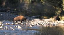 American Bison Bull Crosses Rocky Buffalo River To Join Another