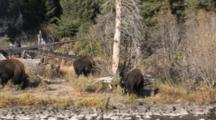American Bison Bulls Foraging In Woodland Setting