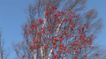 Mountain Ash Tree Blowing In Wind With Birch Tree Behind