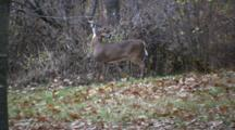 White-Tailed Buck Deer Rubbing Antlers On Branch