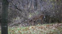 White-Tailed Buck Deer Rubbing Antlers On Branch, Scraping On Ground, Rutting Behavior