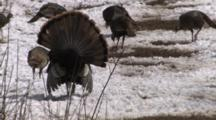 Wild Turkey Tom Displaying, From Back, Walking Toward Hens Feeding