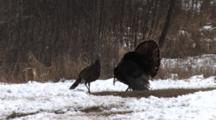 Wild Tom Turkey Displaying For Hen, Fox Sparrow Flies Through Frame