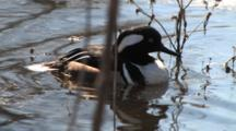 Hooded Merganser Preens, Floats On Pond
