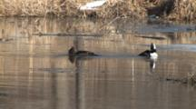 Hooded Mergansers Preening, Bathing, Flapping On Beaver Pond With Ice