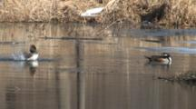 Hooded Mergansers Preening, Hen Splashes, Bathes, Flaps, Drake Exits