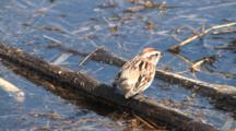 American Tree Sparrow Feeding On Insects At Water Edge