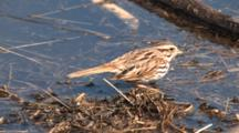 Song Sparrow Feeding On Insects At Water Edge