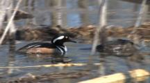 Hooded Merganser Hen Swimming, Drake Enters, Follows, Both Dive Under