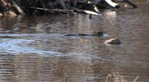 Muskrat Swimming In Beaver Pond, Exits Frame