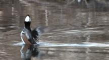Hooded Merganser Drake, Enters Frame, Flaps, Exits