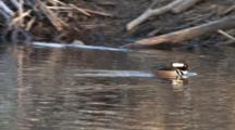 Hooded Merganser Drake Swimming Fast After Off-Frame Rival, Then Preening