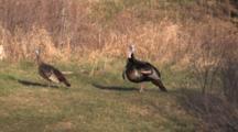 Pair Wild Turkeys Standing, Listening