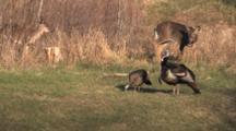 Wild Turkeys Feeding, White-tailed Deer Walking Among