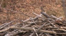 American Robin Taking Grass Off Beaver Lodge For Nest