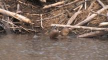 Blue Winged Teal Pair Preening By Beaver Lodge