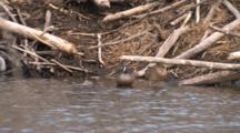 Blue Winged Teal Pair Resting By Beaver Lodge, Drake Swims Off