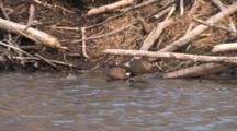 Blue Winged Teal Pair Sleeping By Beaver Lodge