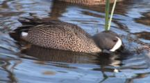Blue Winged Teal Drake Feeding In Pond, Hen Floats By In Bground