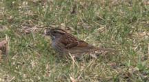 Female White Throated Sparrow Feeding On Ground