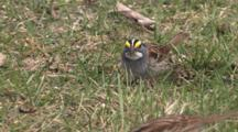 White Throated Sparrows Feeding On Ground, Zoom Out To Group