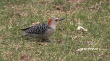 Red Bellied Woodpecker Feeding On Ground