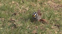 White Throated Sparrow Feeding On Ground, Windy