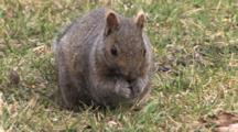 Grey Squirrel Using Paws To Hold, Eat Seeds