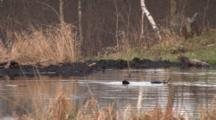 Two Beavers, One Bubbling Underwater, Surfaces Carrying Mud, Swimming, Lifts Tail To Offset Load