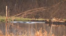 Two Beavers, One Working On Dam, Play, Interact