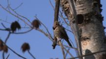 Male Northern Flicker Sitting By Nest Hole, Turns, Enters Birch Tree