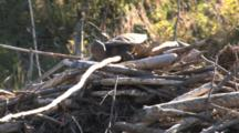 Snapping Turtle Sunning On Top Of Beaver Lodge Exposing Underside Of Shell