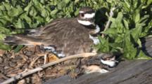 Killdeer Parent With Newly Hatched Chicks By Side