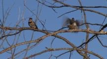 Northern Flickers Interacting On Branch, Exit Frame