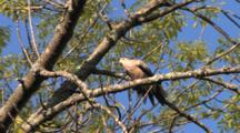 Mourning Dove On Branch, Preening, Stretches