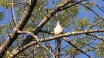 Mourning Dove On Branch, Bobbing Head