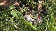 Eastern Garter Snake Pulling And Twisting Grey Tree Frog, Trying To Swallow