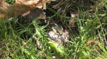 Eastern Garter Snake, Zoom To Struggle With Grey Tree Frog, Still Alive