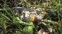 Eastern Garter Snake Works Jaws Back And Forth, Tries To Swallow Grey Tree Frog