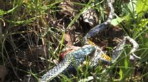 Eastern Garter Snake Works At Swallowing Grey Tree Frog, View From Back