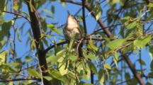 House Wren Singing In Birch Tree