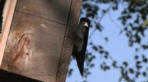 Tree Swallow Hanging On Nest Box, Enters