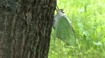 Newly Emerged Luna Moth On Tree, Side View, Wings Folded