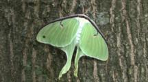 Newly Emerged Luna Moth On Tree