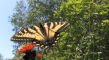 Eastern Tiger Swallowtail Butterfly Feeding On Orange Hawkweed, View From Ground
