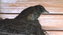 American Robin Chicks in Nest