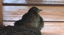 American Robin Chicks In Nest, Grooming, Hear Noise, Hide