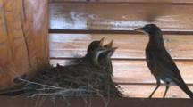 American Robin Chicks In Nest, Female Enters, Feeds, Chicks Beg